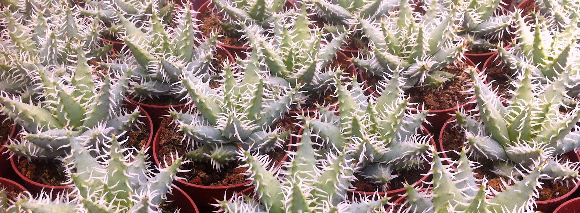 Le Cactus Alpin - Aloe erinacea