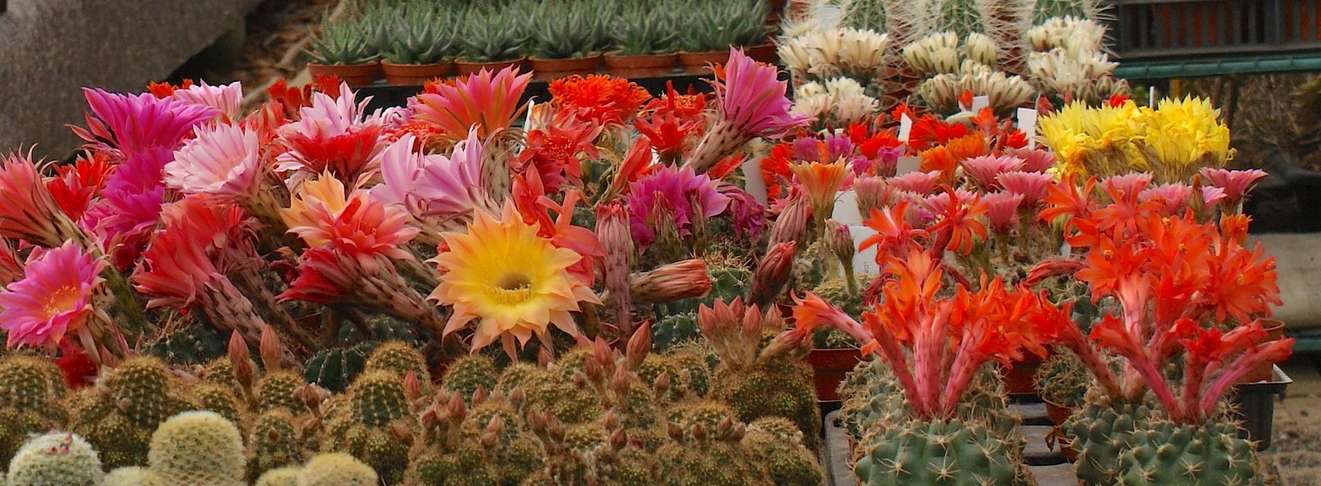 Le Cactus Alpin - Echinopsis