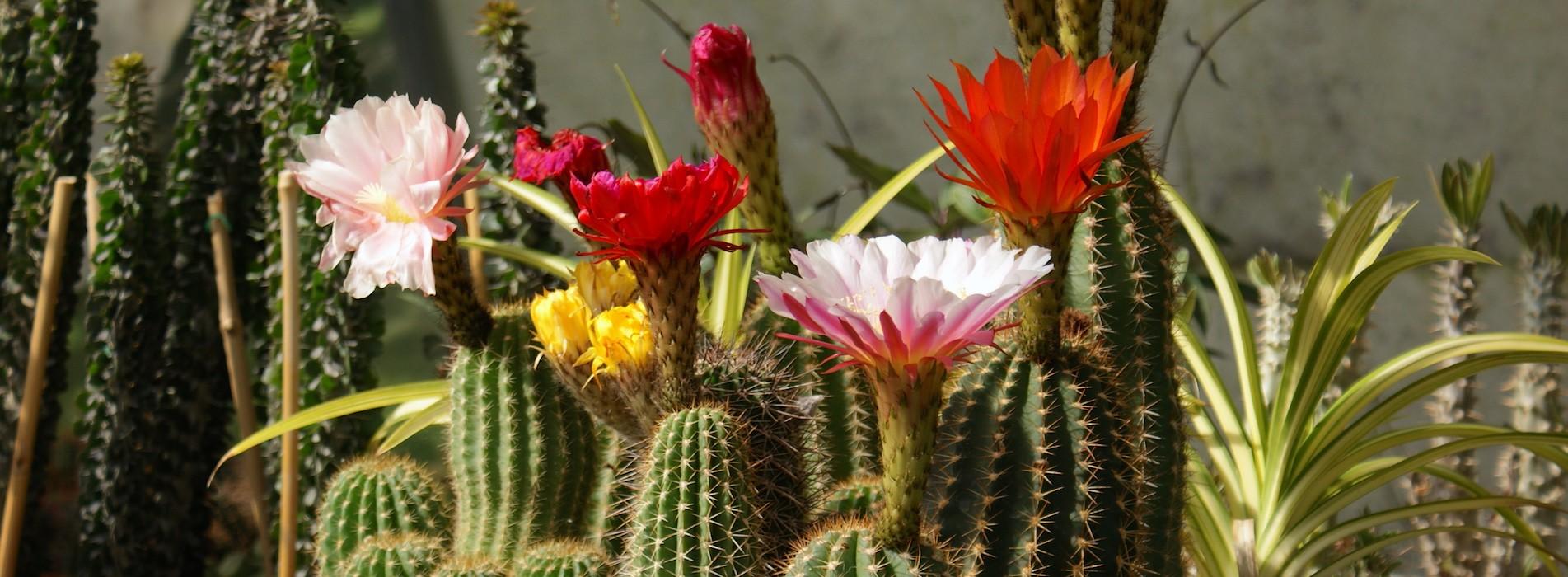Le Cactus Alpin - Trichocereus