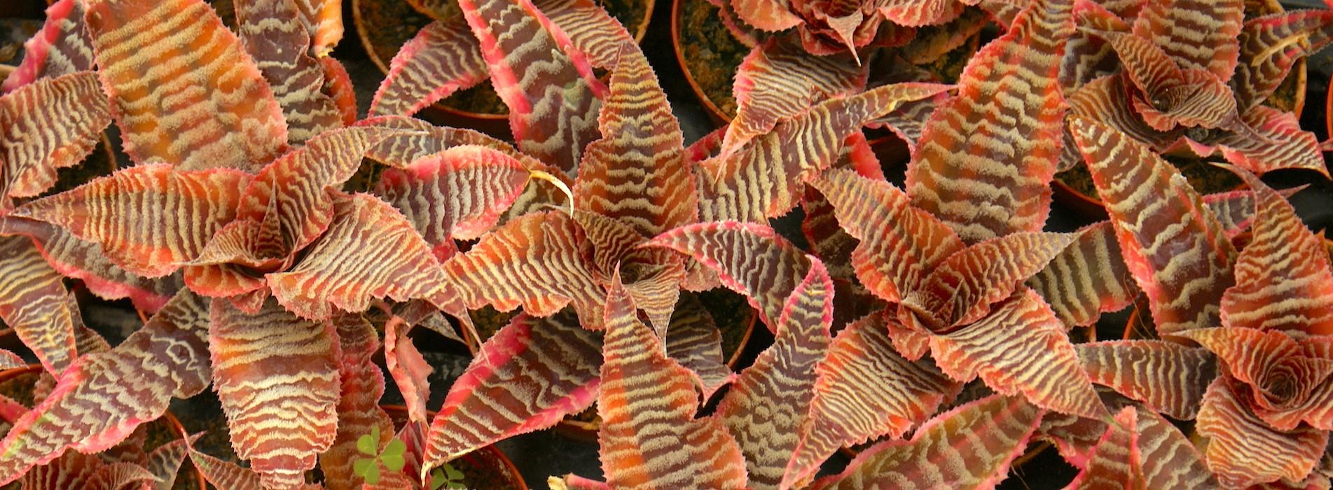 Le Cactus Alpin - Cryptanthus sp.
